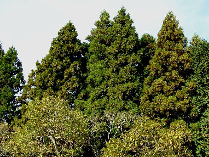 静岡事務所周辺の杉