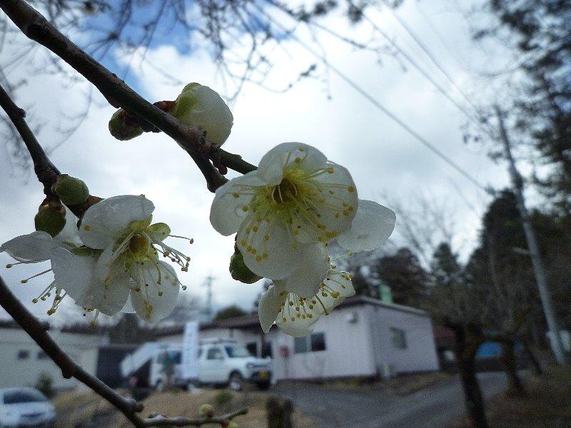 富士山の麓にも春の訪れ...