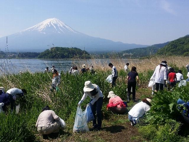 河口湖アレチウリ一掃作戦1回目 町の一万人の清掃活動の一環で実施